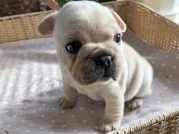 フレンチブルドッグの子犬販売