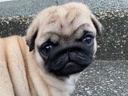 パグの子犬販売