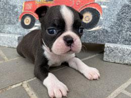 ボストンテリアの子犬販売