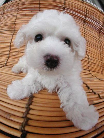 """Obrázek """"http://www.e-michael.jp/gallery/toy.poodle-7.jpg"""" nelze zobrazit, protože obsahuje chyby."""